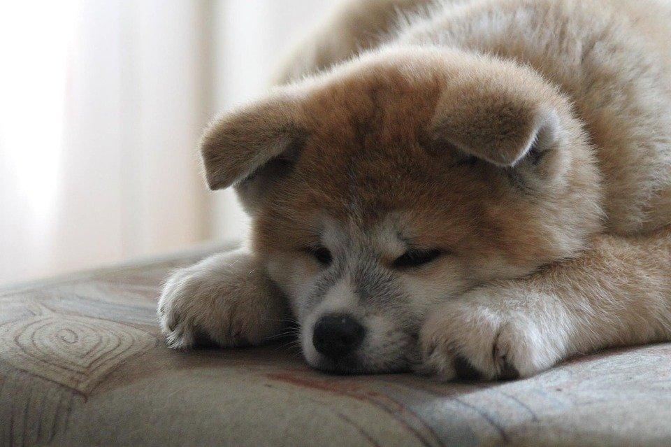 秋田犬が眠ってる