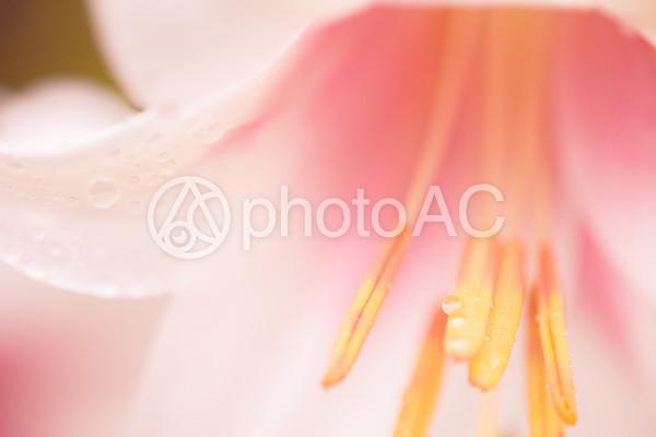 きれいなユリの花
